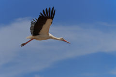 White stork in flight Stock Photos