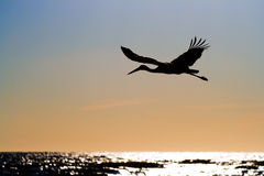 White stork in flight Royalty Free Stock Photo