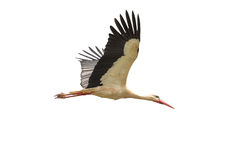 White stork in flight. On a white background - Ciconia ciconia Stock Image