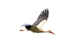 White stork in flight Stock Photography