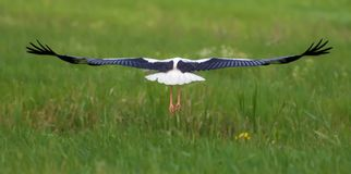 White Stork flies over green grass back view royalty free stock photos