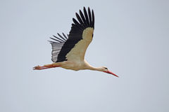 White stork in flight Stock Image