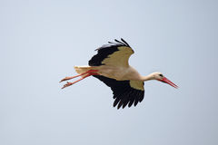 White stork in flight Royalty Free Stock Photos