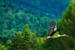 White Stork in Flight Royalty Free Stock Photo
