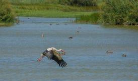 White Stork in flight over lagoon Stock Image