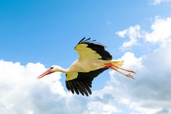 White stork. In flight in the sky Royalty Free Stock Photography