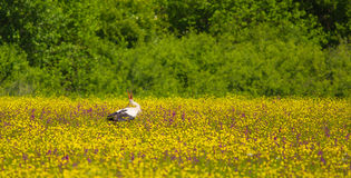 White Stork at flower meadow Royalty Free Stock Images