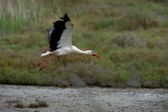A white stork flying Stock Images