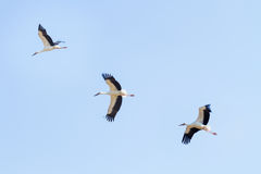 White stork flying Royalty Free Stock Image
