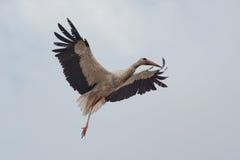 White Stork flying Stock Photos