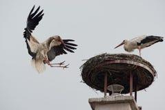 White Stork flying Royalty Free Stock Images