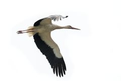 White stork flying  Royalty Free Stock Photo