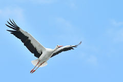 White stork Stock Photography