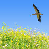 White stork flying in clear blue sky. Over the spring flowering field herbs with copy-space Royalty Free Stock Photos