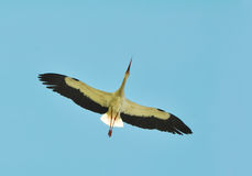 White stork flying Stock Photos
