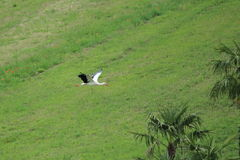 White stork flying. Flying white stork over the grassland Royalty Free Stock Image