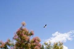 White stork flying over a tamarisk Stock Photography
