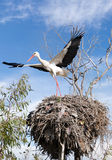 White stork flying over the tree Royalty Free Stock Image