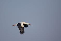 White stork flying Royalty Free Stock Photography