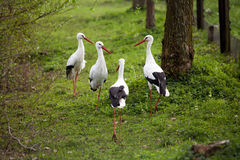 White Stork Gathering Royalty Free Stock Photography