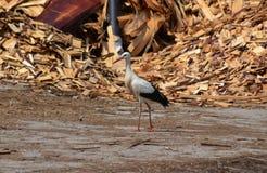 White stork Stock Photography