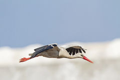 A White Stork Stock Image