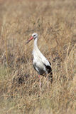 White stork in the grass Stock Photos