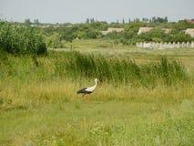 White stork in grass Stock Images
