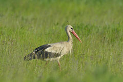 White stork in green grass Royalty Free Stock Photos