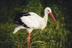 White stork on green grass Royalty Free Stock Image