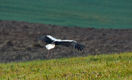 White stork on a grey field in morning Royalty Free Stock Image