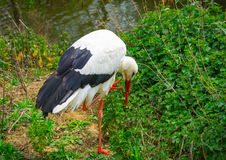 White Stork with the head down. Among a grass and bushes Royalty Free Stock Image