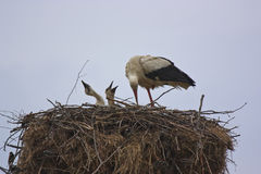 White stork with her chicks Royalty Free Stock Photo