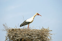 White stork on her nest Stock Photo