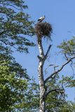 White stork in his nest. On the top of the tree, Podlasie, Poland Stock Photos