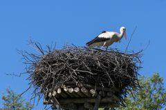 White stork in his nest. On the top of the building roof, Podlasie, Poland Stock Photos
