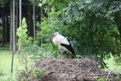 A white stork in his nest. Young white stork on the nest Royalty Free Stock Photography