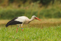 White stork hunting in the grass Stock Image