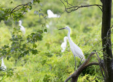 The white stork is hunting in the jungle. Royalty Free Stock Photos
