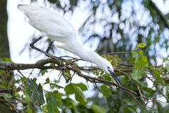 The white stork is hunting in the jungle. royalty free stock photography
