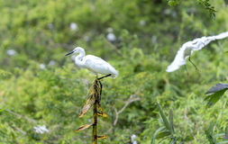 The white stork is hunting in the jungle. Stock Images