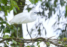 The white stork is hunting in the jungle. Stock Photography