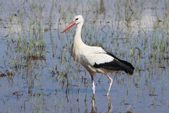 White Stork hunting Royalty Free Stock Images