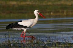 White stork hunting. Hunting white stork on the swamp Stock Images