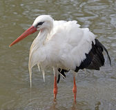 White stork hunting in water Stock Photo