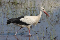 White Stork. Hunting in water Stock Photo