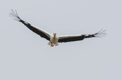 Free White Stork In Flight Royalty Free Stock Photography - 28026657