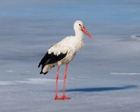 Free White Stork In The Middle Of The European Winter (11 January) Stock Photos - 49016503