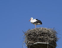 White stork on its nest. White stork standing on its nest made of branches. The white stork is a migrant living in Europe and overwintering in Africa. It is Stock Photography