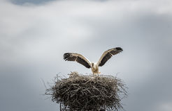 White stork in its nest. Bird photography with a beautiful white stork, as it stays with the wings wide open on its big nest. Scientific called Ciconia ciconia Royalty Free Stock Photography